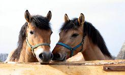Wybierz się na pokaz konia śląskiego - Serwis informacyjny z Wodzisławia Śląskiego - naszwodzislaw.com