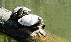 Żółw stanie się symbolem wodzisławskiego Balatonu? - Serwis informacyjny z Wodzisławia Śląskiego - naszwodzislaw.com