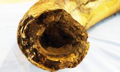 Cios mamuta sprzed tysięcy lat już w wodzisławskim muzeum. Najprawdopodobniej należał do małego osobnika - Serwis informacyjny z Wodzisławia Śląskiego - naszwodzislaw.com