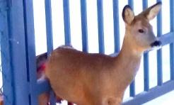 Na ratunek sarnie. Zwierzę zaklinowało się w bramie  - Serwis informacyjny z Wodzisławia Śląskiego - naszwodzislaw.com