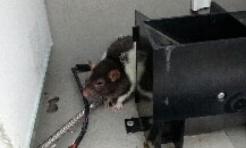W jednym z parkomatów zamieszkał szczur  - Serwis informacyjny z Wodzisławia Śląskiego - naszwodzislaw.com