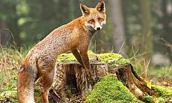 Będą szczepić lisy. Nie dotykajcie przynęt! - Serwis informacyjny z Wodzisławia Śląskiego - naszwodzislaw.com