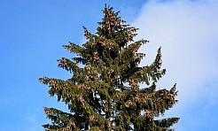 Chcesz przed zimą ściąć wysokie drzewo? Zgłoś się do Urzędu Gminy - Serwis informacyjny z Wodzisławia Śląskiego - naszwodzislaw.com