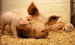 Akcja informacyjna na temat afrykańskiego pomoru świń - Serwis informacyjny z Wodzisławia Śląskiego - naszwodzislaw.com