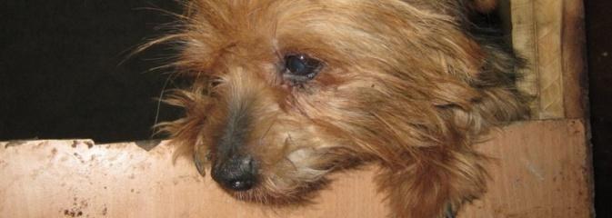 Zaniedbane, nieszczepione i żyły w skandalicznych warunkach! W Wodzisławiu odkryto hodowlę psów rasy York - Serwis informacyjny z Wodzisławia Śląskiego - naszwodzislaw.com