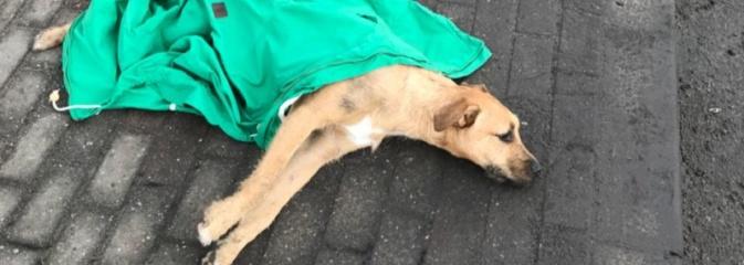 Potrącony pies wykrwawiał się na ulicy. Nikt nie chciał pomóc  - Serwis informacyjny z Wodzisławia Śląskiego - naszwodzislaw.com