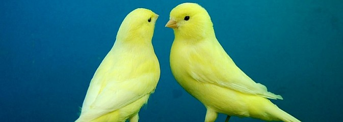 WCK zaprasza na 68. wystawę kanarków i ptaków egzotycznych - Serwis informacyjny z Wodzisławia Śląskiego - naszwodzislaw.com