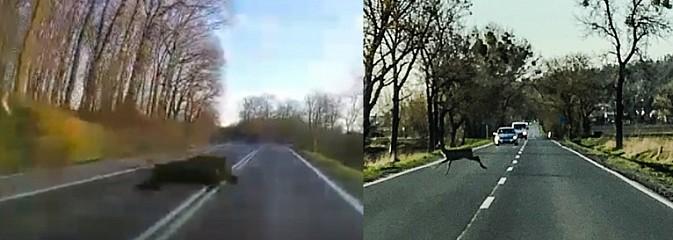 Tak dzik wbiega na jezdnię wprost pod samochód [WIDEO] - Serwis informacyjny z Wodzisławia Śląskiego - naszwodzislaw.com