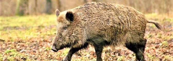 Zgłoś szkodę wyrządzoną przez dzikie zwierzęta - Serwis informacyjny z Wodzisławia Śląskiego - naszwodzislaw.com